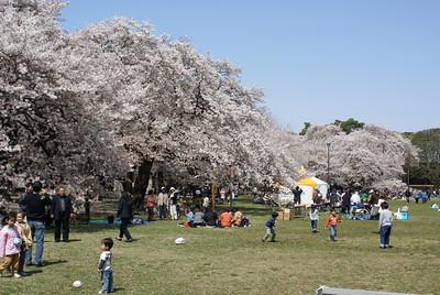 Koganei Park, April 5