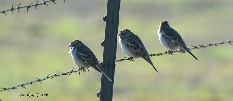 Lark Sparrows - 12/29/2014 - Rangeland Road, Ramona