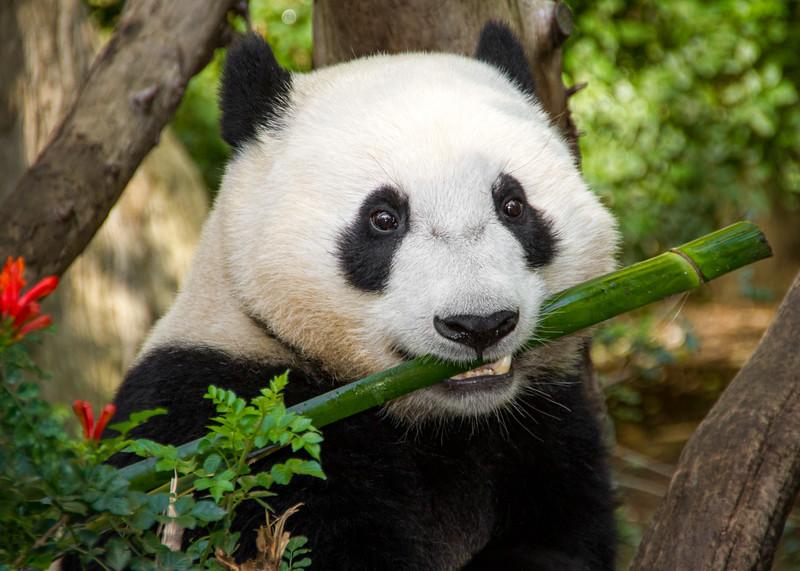 Panda Bamboo NWM-.jpg