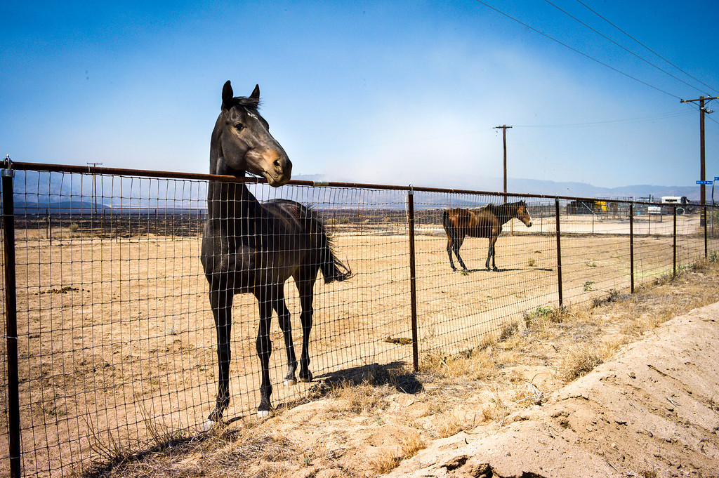 . Horses which are out of danger from the Power House fire, in background,  along Lancaster road Monday.   Photo by David Crane/Los Angeles Daily News