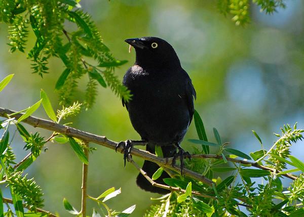 Blackbird, Brewer's