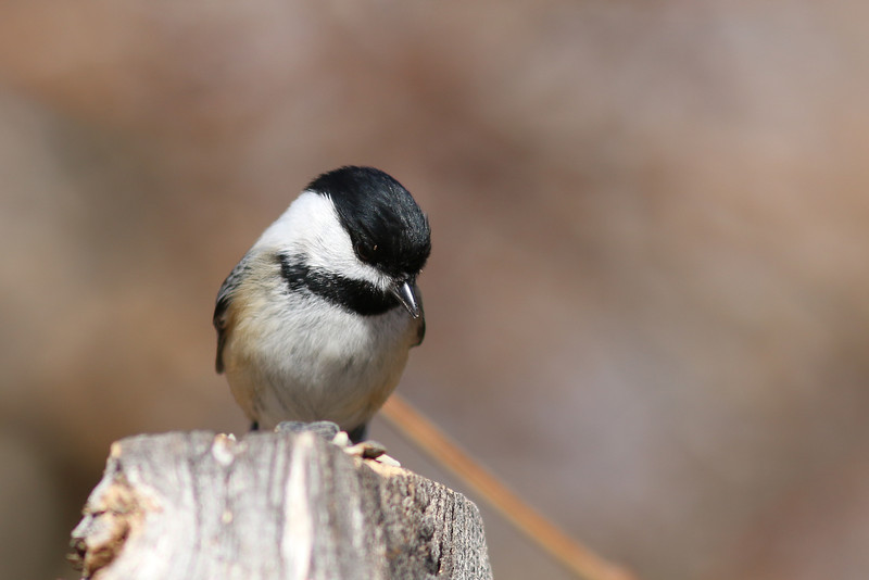 A chickadee. At the Elizabeth A Morton National Wildlife Refuge.
