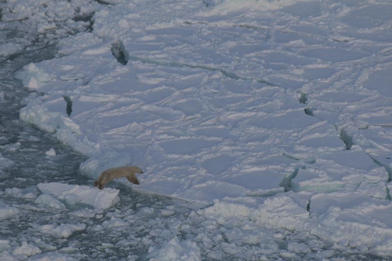Polar Bear on Hudson Bay jumping over open water