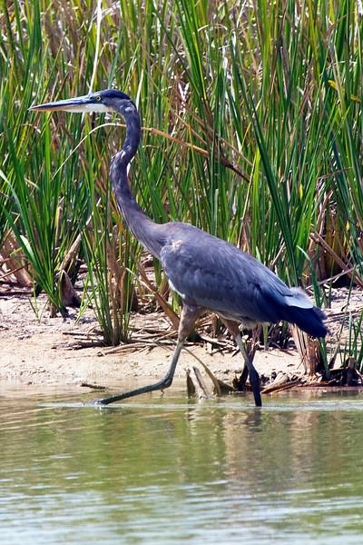 Great blue heron on an island in the Willow Waterhole
