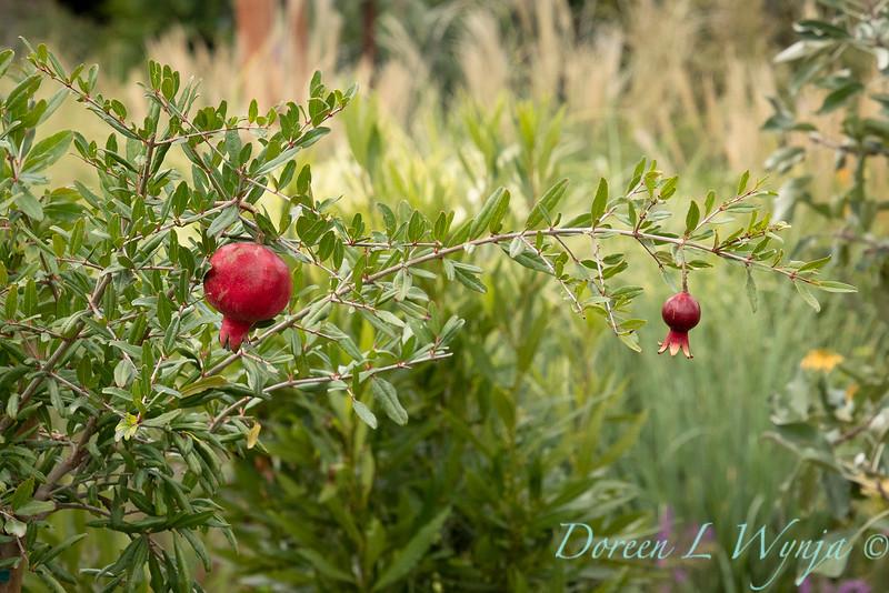 6747 Punica granatum 'Nochi Shibari' with fruit_9518.jpg