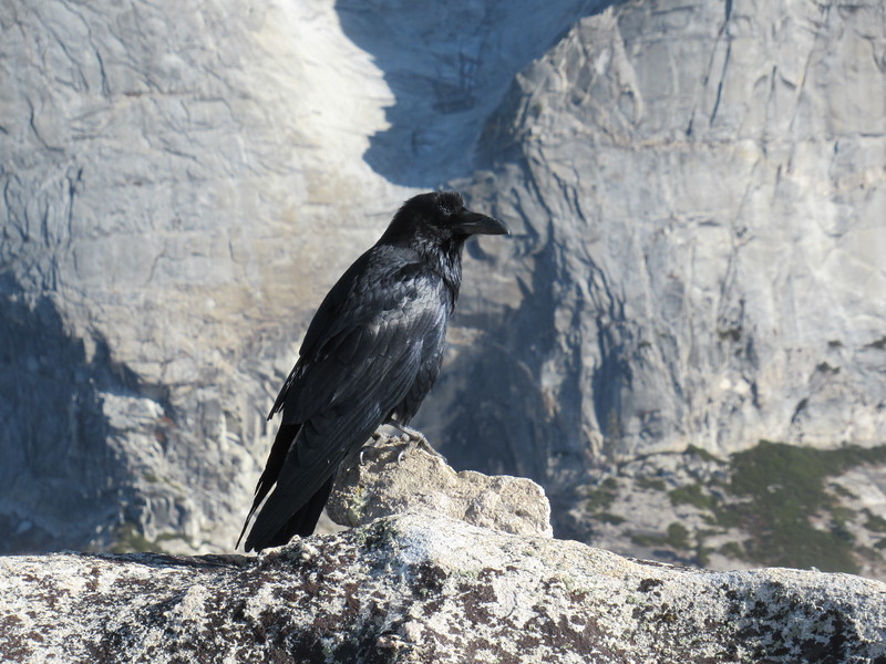 An awesome Raven in Yosemite, California