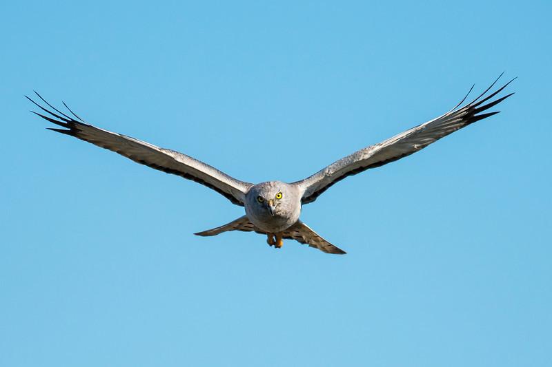 Northern Harrier Galveston, TX
