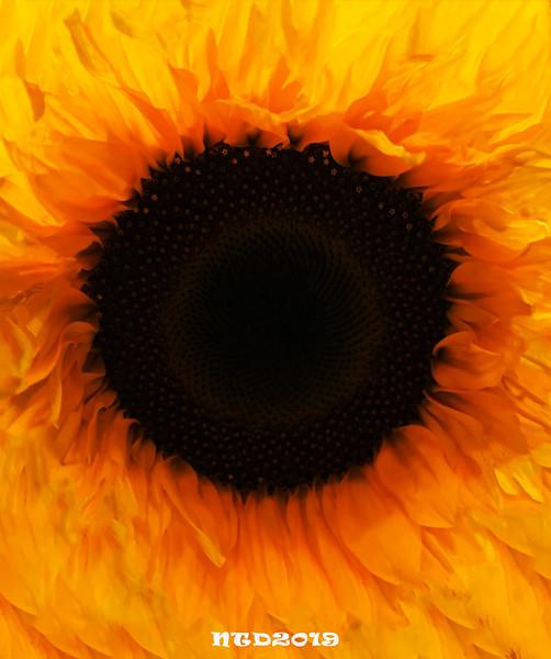 sunflower-edited_FOR ME_NTD.jpg