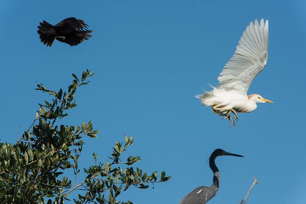 Redwing blackbird and cattle egret