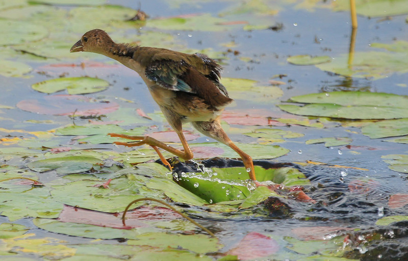 zzAnahuac 8-31-14 249A, Purple Gallinule chick running SMALL.jpg