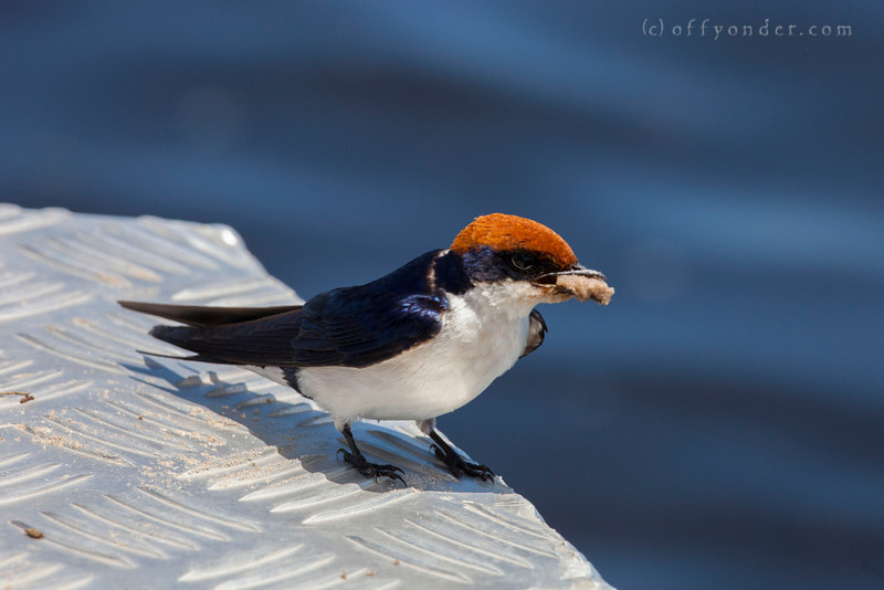 CHOBE NATIONAL PARK, BOTSWANA - Wire-tailed Swallow (Hirundo smithii)