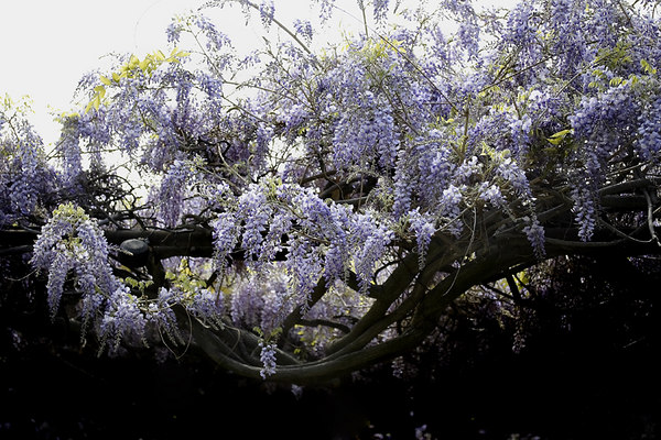 Along with the once a year tour of the Wisteria, the community had a street festival with handicrafts, food and music.  Most of the locals dress in lavender in honor of the vine and the day.