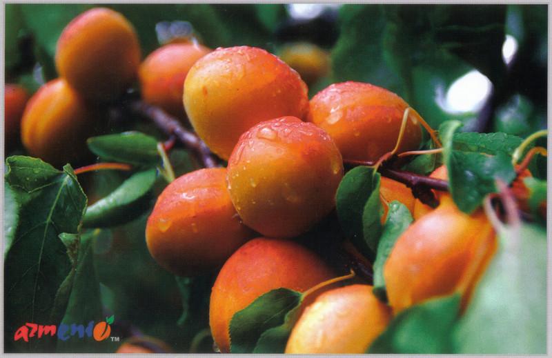 009_Armenian_Ripe_apricots.jpg