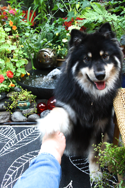"""I told Onni """"High Five"""" and put my foot out and he high fived it.  First time I tried this command. July 1, 2013"""