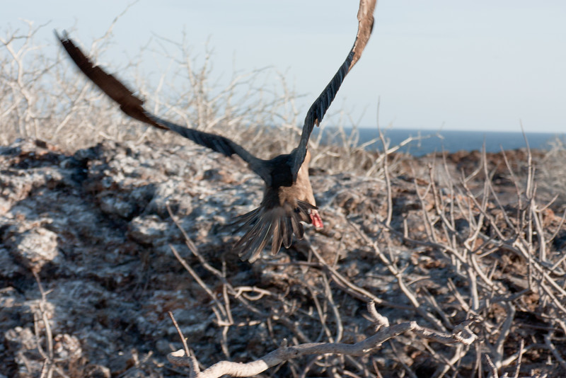 Red Footed Booby Leaving the Nest : Journey into Genovesa Island in the Galapagos Archipelago