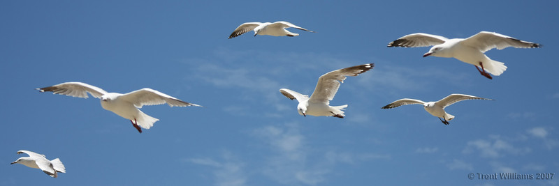 Seagulls at Yeppoon. Photo by Trent Williams