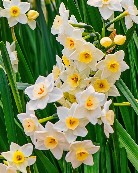 Daffodils 2-14-18- Lum 2388.jpg
