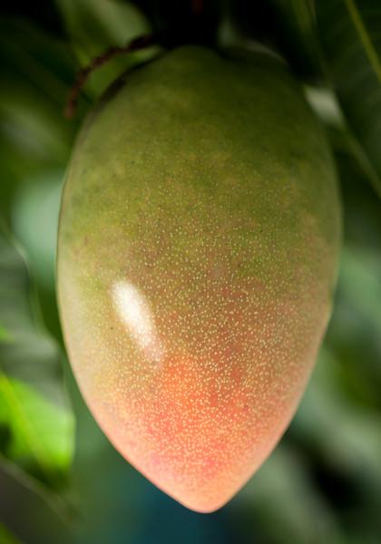 cogshall mango.jpg