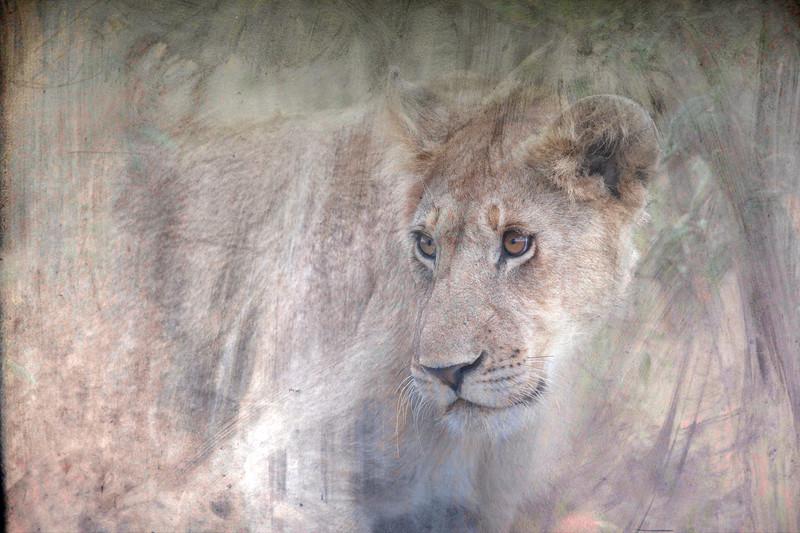 Lion9223c.jpg