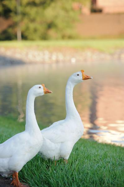 Lake-hollifield-ducks -13.jpg