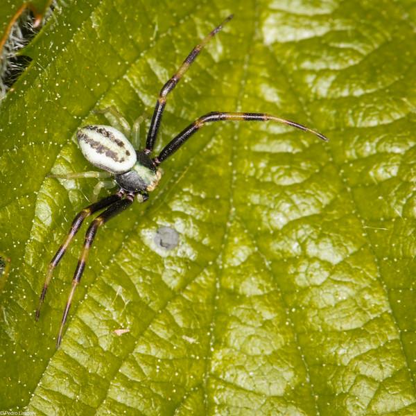 Crab Spider - Misumena vatia - Male