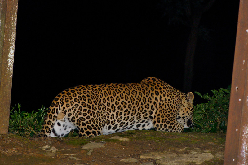 Leopard-Valparai-tea-estate.jpg