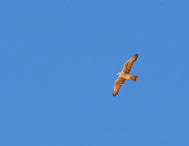 Keltapäähaukka (Falco biarmicus)