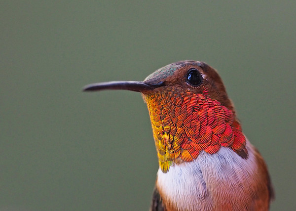 Hummingbird Portaits