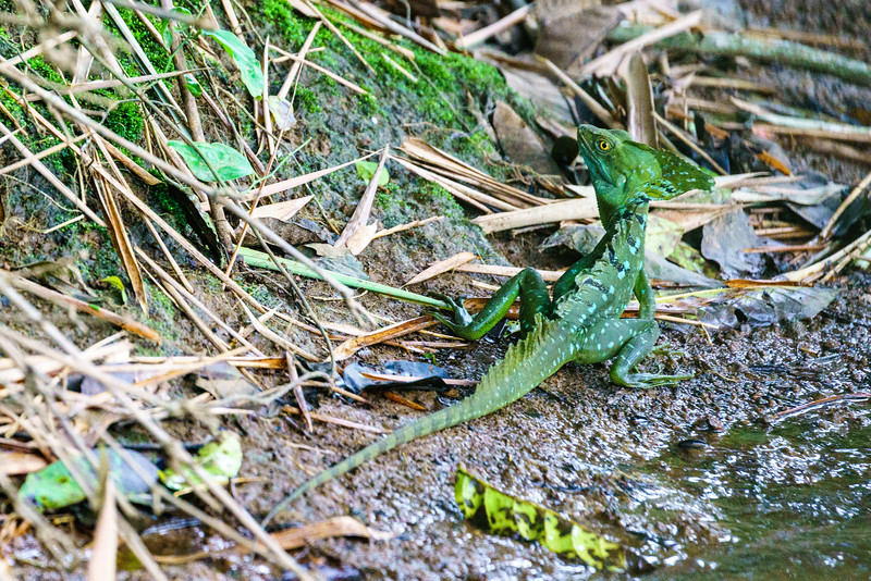 Basilisk Lizard (akaJesus Christ Lizard)