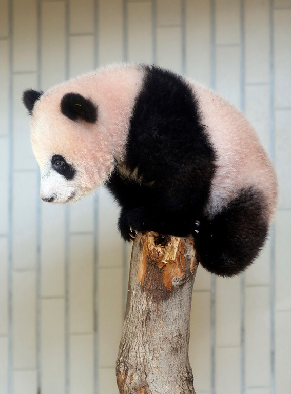 . In this Monday, Dec. 18, 2017, photo, female giant panda cub Xiang Xiang plays on a tree during a press preview at the Ueno Zoological gardens in Tokyo. Tokyo�s new idol, baby panda Xiang Xiang, formally debuted Tuesday, immediately melting the hearts of hundreds of fans decorating themselves with panda motifs who visited the zoo and the neighborhood filled with festivity. (Yoshikazu Tsuno/Pool Photo via AP)