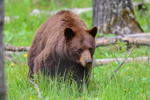 6 2013 Jun 15 Brown Bear Mom & 2 Black Cubs*