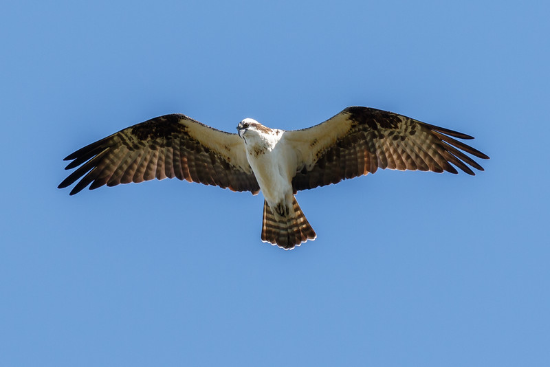 Osprey-6012.jpg