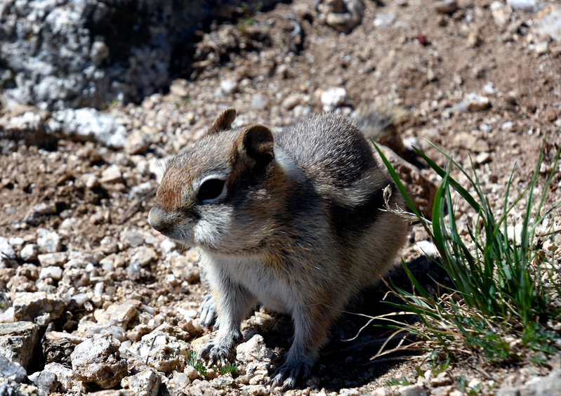 Golden-mantled-groundSquirrel.jpg