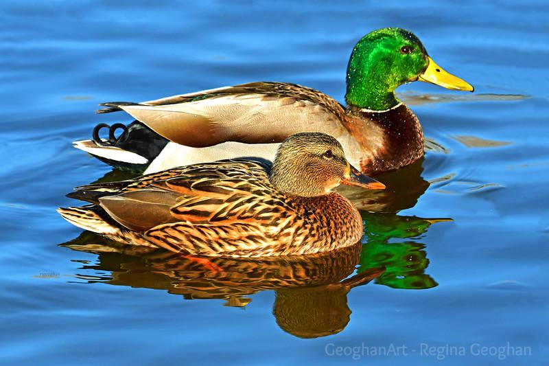 Better Together-Mallard Duck Pair