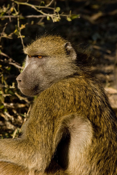 Baboon1_edited-1.jpg
