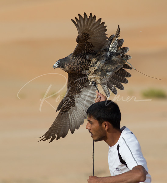 Falconer training his falcon