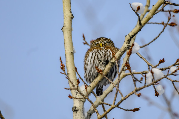 2-4-19 Video - Pygmy Owl