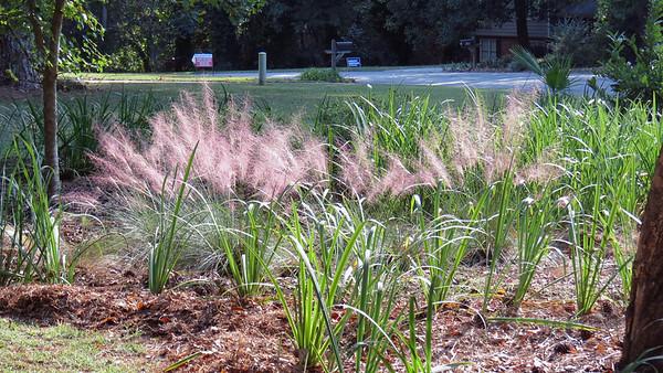September 22:  Pink Muhly Grass finishes the season .  . .