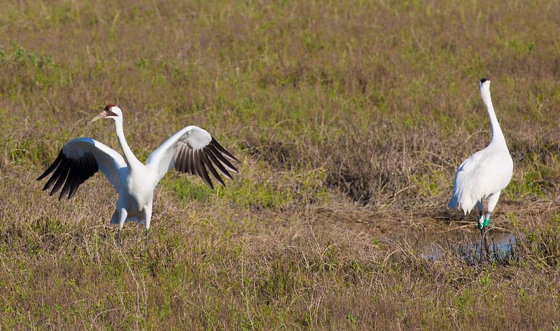 A Whooping Crane does his mating dance ...