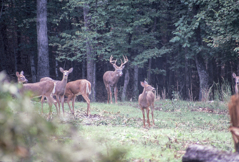 Male deer with antlers surrounded by female deer