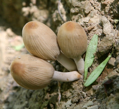 Common Inkcap (Coprinus comatus).