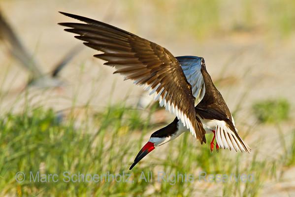 Nickerson Beach Birds