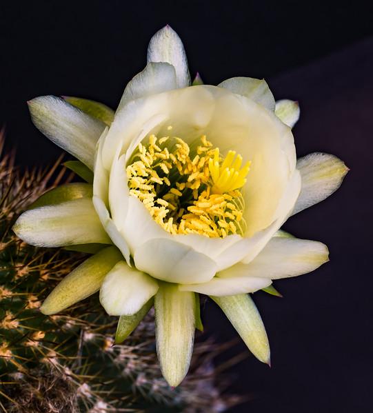 Cactus Flowers 5-18-2017a.jpg