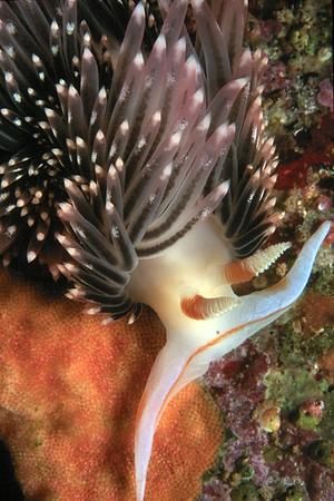 Nudibranchs & Sea Slugs