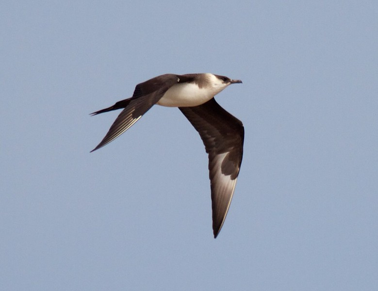 Parasitic Jaeger light adult summer Lake Superior Wisconsin Point Superior WI IMG_9308.jpg