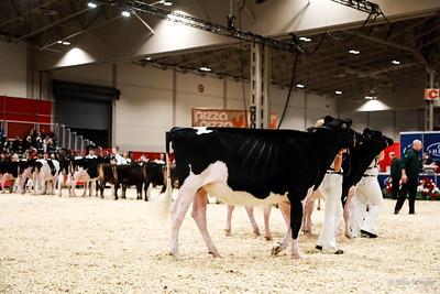 Grand Champion Calf