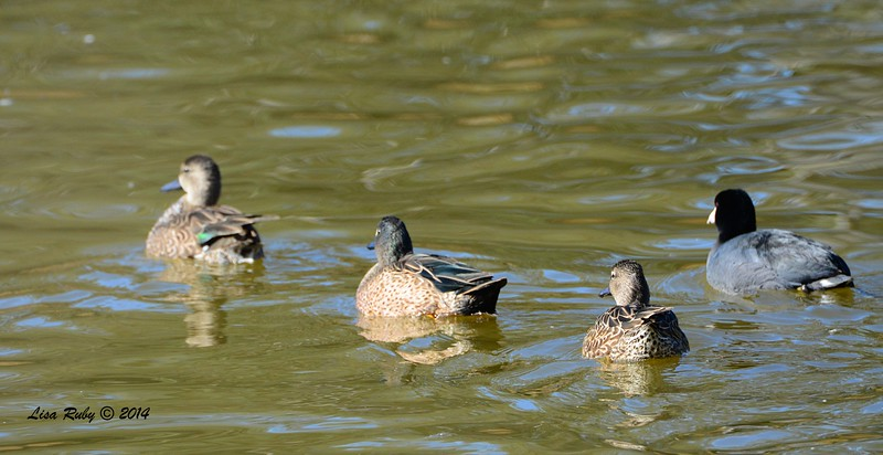 Received mixed input on the bird in front, which was the bird in question. It's either a Blue-winged or Green-winged Teal.