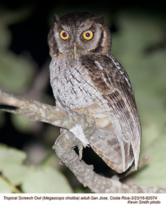 Tropical Screech Owl A82074.jpg