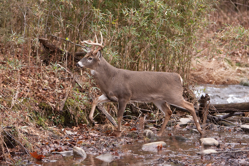 White-tailed buck crossing stream.