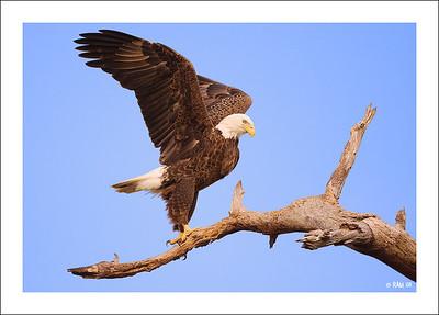 Eagles  2008